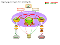 Adiposity signals and hypothalamic signal integration PPT Slide