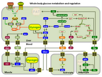 Whole body glucose metabolism and regulation PPT Slide