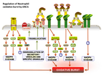 Regulation of Neutrophil oxidative burst by ANCA PPT Slide