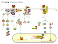 Wnt signaling - Noncanonical pathways PPT Slide