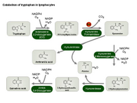 Catabolism of tryptophan in lymphocytes PPT Slide