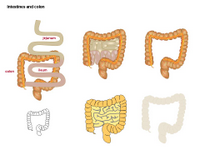 Intestines and colon PPT Slide