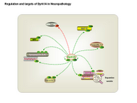 Regulation and targets of Dyrk1A in neuropathology PPT Slide