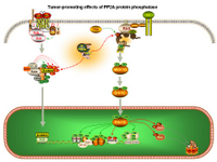 Tumor-promoting effects of PP2A PPT Slide