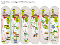 Feedback loops converging at Irs1 in insulin signaling PPT Slide