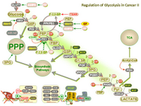 Regulation of glycolysis in cancer II PPT Slide