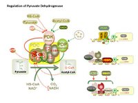 Regulation of Pyruvate Dehydrogenase PPT Slide