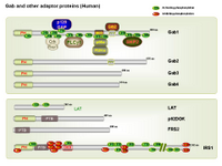 Gab and other adaptor proteins PPT Slide