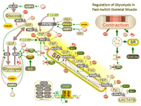 Regulation of glycolysis in fast-twitch skeletal muscle PPT Slide