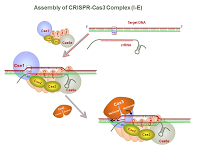 Assembly of CRISPR-Cas3 Complex PPT Slide
