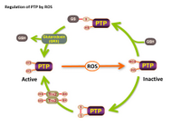 Regulation of PTP by ROS PPT Slide