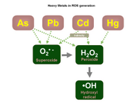 Heavy Metals in ROS generation PPT Slide