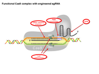 Functional Cas9 complex with engineered sgRNA PPT Slide