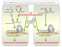 Type II CRISPR-Cas9 systems in Streptococcus and in engineered DNA Editing PPT Slide