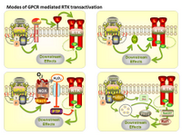 Modes of GPCR mediated RTK transactivation PPT Slide