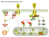 TNFR1 and TNR2 Signaling in T-cells PPT Slide