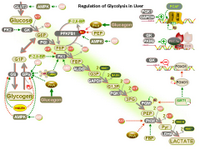 Regulation of Glycolysis in liver PPT Slide