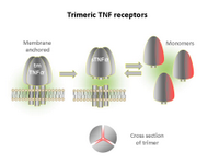 Trimeric TNF receptors PPT Slide
