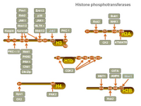 Histone phosphotransferases PPT Slide