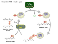 Protein Thiol-ROS oxidation cycle PPT Slide