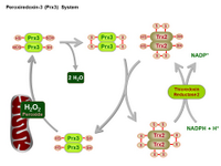 Peroxiredoxin-3 System PPT Slide