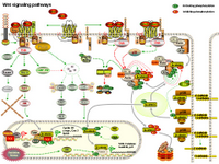 Wnt Signaling Pathways PPT Slide