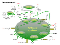 Biosynthesis of fatty acids PPT Slide