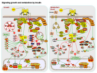 Signaling growth and metabolism by insulin PPT Slide