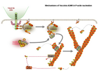 Mechanisms of Vaccinia A36R in F-actin nucleation PPT Slide