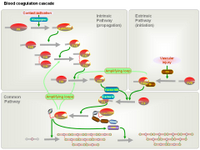 Blood coagulation cascade PPT Slide