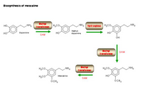 Biosynthesis of mescaline PPT Slide