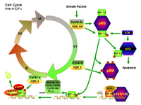 Cell Cycle - Role of E2F PPT Slide