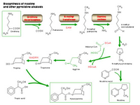 Biosynthesis of nicotine and other pyrrolidine alkaloids PPT Slide
