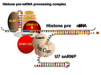 Histone pre-mRNA processing complex PPT Slide