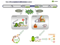 Rb acetylation in differentiation control PPT Slide