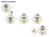 Regulation of B-cell maturation PPT Slide