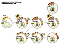 Regulation of CD4 and CD8 lineage commitment PPT Slide