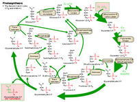 Photosynthesis II - The Benson-Calvin cycle PPT Slide