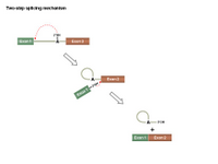 Two-step splicing mechanism PPT Slide