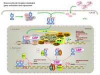Glucocorticoid receptor mediated gene activation and repression PPT Slide