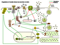Regulation of insulin release by incretins in islets PPT Slide