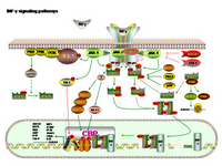 INF gamma Signaling PPT Slide