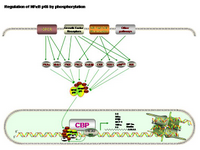 NFkB regulation by phosphorylation PPT Slide