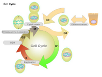 Cell Cycle PPT Slide