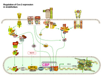 Regulation of COX-2 expression in endothelium PPT Slide