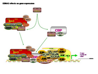 EBNA2 effects on gene expression PPT Slide