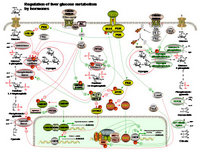 Regulation of liver glucose metabolism by hormones PPT Slide