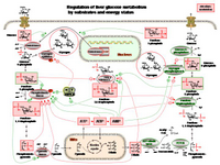 Regulation of liver glucose metabolism by substrates and energy status PPT Slide
