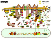 BCR Signaling pathways PPT Slide