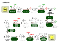 Glycolysis PPT Slide
